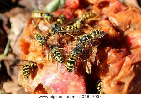 Swarm of Hornets Gorging on a Rotten Apple. poster