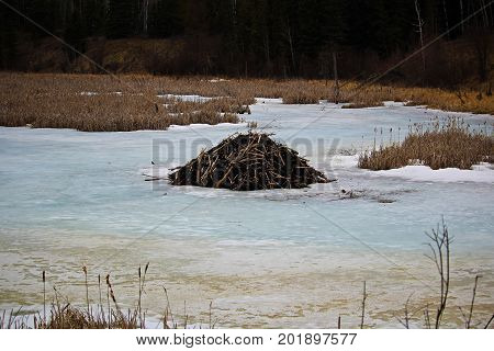 A Beaver lodge on a frozen pond.
