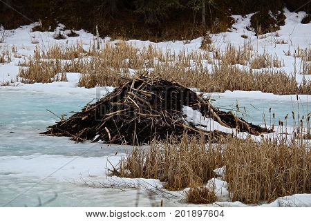 A Beaver Lodge In Spring Surrounded By Melting Blue Ice