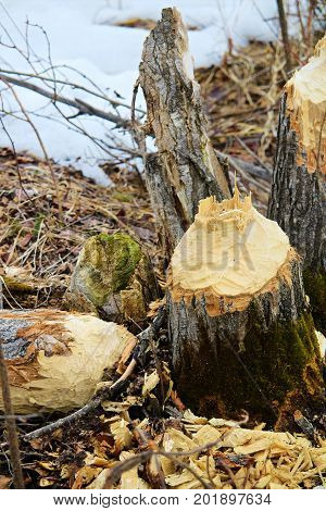 The stump of a beaver chewed tree.