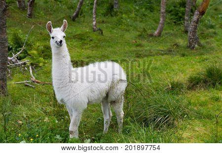 Close up of a Small Glama Lama