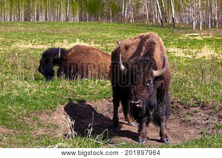 Two wild buffalos near a wallowing pit