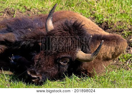 Closeup of a bison head as it's lying down