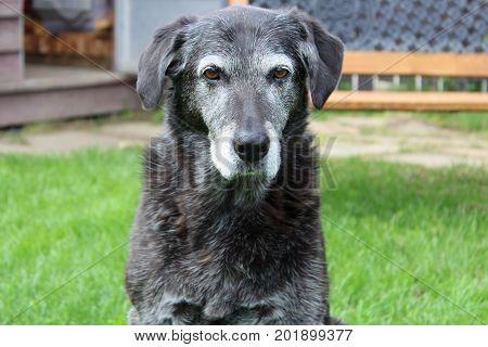 A grumpy senior dog starring back at you