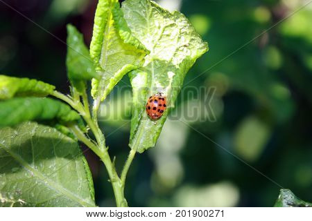 Cherry leaves affected by aphids. Insect pests on the plant. Ladybug eating aphid.