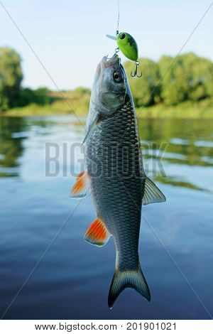 Chub caught on a plastic bait, summer catch on river