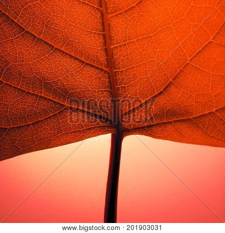 A detail photo of a red autumn leaf