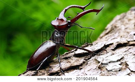 A stag beetle is a rare inhabitant of European oak forests.Beautiful stag beetle - the dream of every collector, so the stags is a real hunt.
