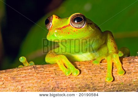 tree frog in Brazil tropical amazon rain forest beautiful night animal and endangered amphibian green frog red eyed frog Hypsiboas cinerescens exotic colorful treefrog in jungle macro poster