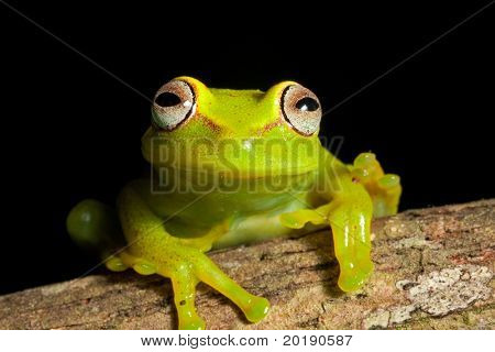 tree frog in Brazil tropical amazon rain forest beautiful night animal and endangered amphibian green frog big red eyes Hypsiboas cinerescens black background treefrog with bright vivid colors
