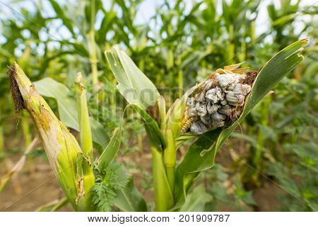 Huitlacoche - Corn smut fungus Mexican truffle in the green field. Corn smut is a plant disease caused by the pathogenic fungus Ustilago maydis that causes smut on maize and teosinte.