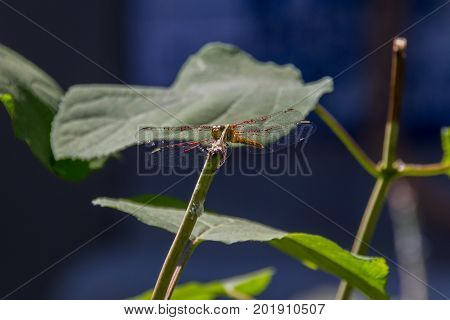 Dragonfly  Sitting On The Branch.