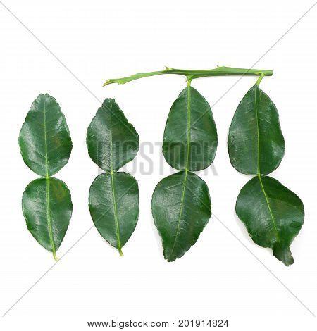 Fresh Kaffir Lime Leaf Isolate On White Background