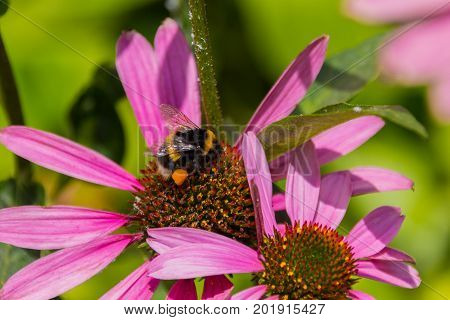 Bee On The Blossoming Echinacea Flowers.