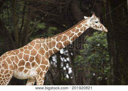 A single Reticulated Giraffe against a tree lined background. poster