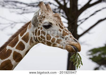 A close-up of a Reticulated Giraffe eating. poster
