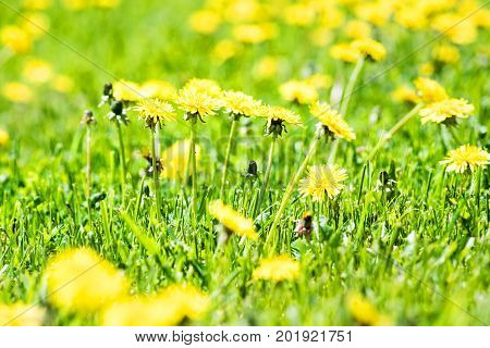 Macro Closeup Of Yellow Dandelion Flowers In Green Grass Background In Ile D'orleans, Quebec, Canada