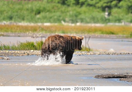 Kodiak grizzly bear fishing in shallow water