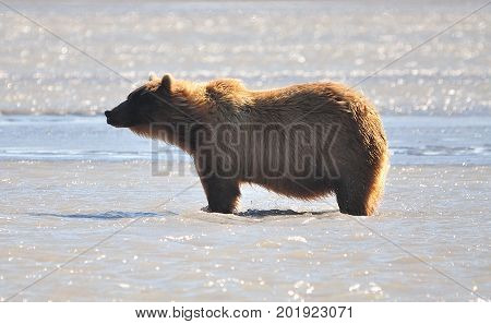 Big grizzly bear on Kodiak island standing in water