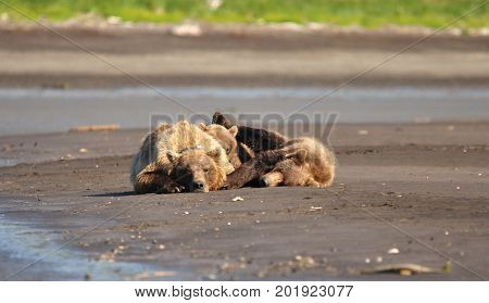 Group of Kodiak grizzly bears resting on the beach