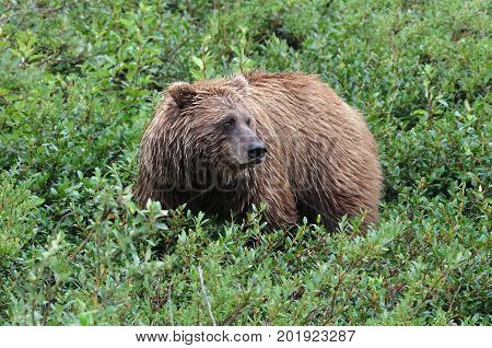 Female brown bear in Alaska looking after her cubs