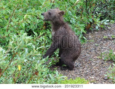 Grizzly bear cub on its hind legs sniffing at plants