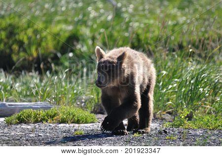 young brown bear in Alaska walking towards us