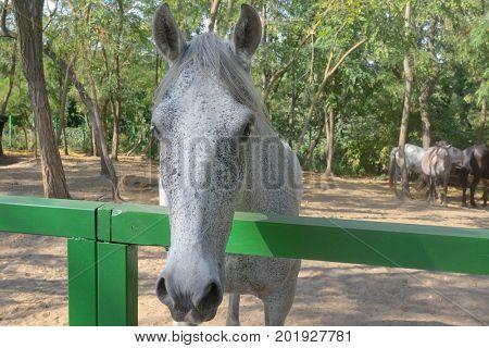The dapple gray horse lipizzan at ranch