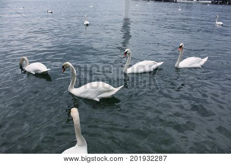 White swans in the lake Luzern Switzerland