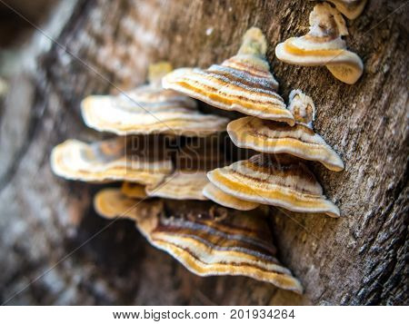 A bunch of conks of bracket fungi or mushrooms on a tree