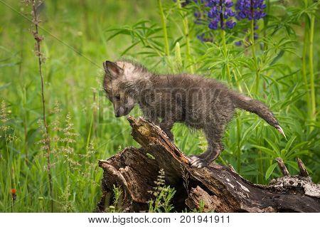 Red Fox (Vulpes vulpes) Kit Atop Log - captive animal