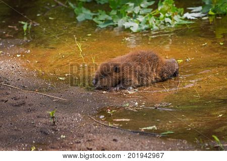 North American Beaver (Castor canadensis) Kit Crawls To Waters Edge - captive animal