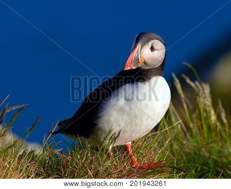 cute puffin standing on cliff (fratercula arctica)