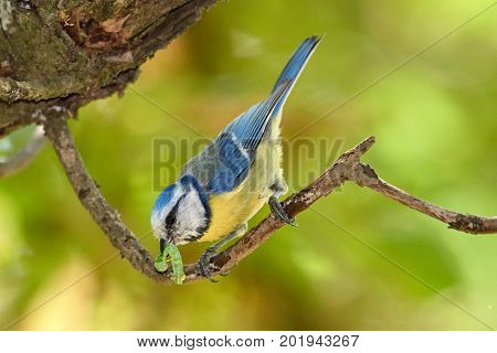 blue tit on branch in spring (parus caeruleus)