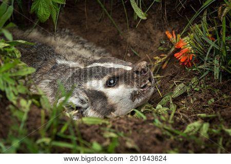 North American Badger (Taxidea taxus) Snarls Right Closeup - captive animal