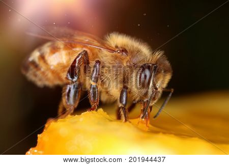 Busy bee on sweet yellow fruit macro close-up