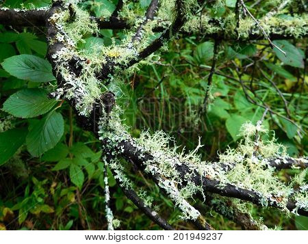 Various lichen growing on a tree branch.