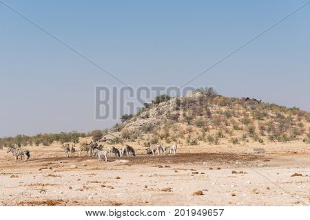 Burchells zebras Equus quagga burchellii at the Dolomite waterhole with the Dolomite Rest Camp in the back on the hill