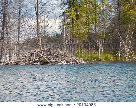 Beaver Lodge At A Lake On A Windy Day