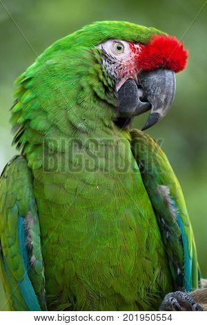 Green military macaw (Ara militaris).