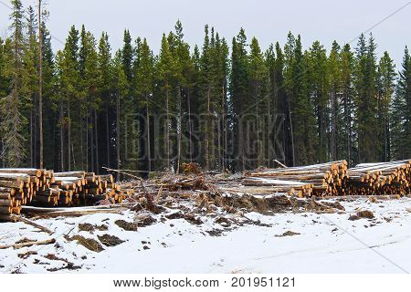 Stacks Of Cut Timber Ready To Be Hauled Out Of A Logging Area