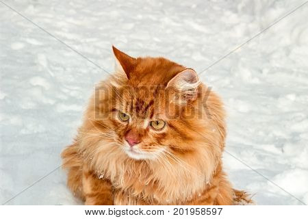 Red headed wondered cat sitting on snow winter scene