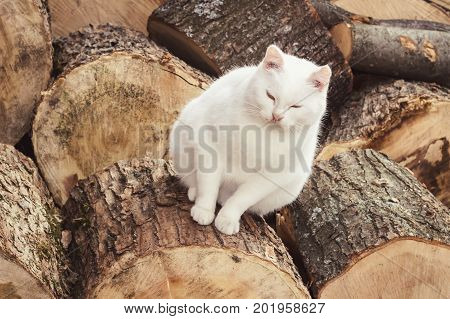 Fat white cat sitting on woods scene