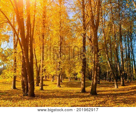 Autumn landscape of sunny autumn park in sunny weather - yellowed autumn trees and fallen autumn leaves. Sunny autumn park landscape with golden autumn trees and fallen autumn leaves covering the ground