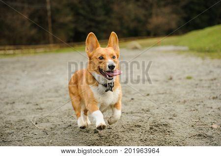 Welsh Pembroke Corgi dog running down muddy road