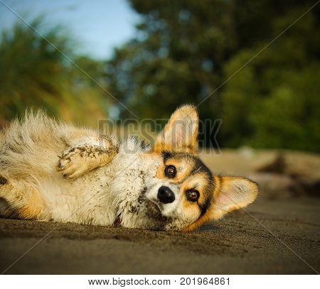 Welsh Pembroke Corgi dog rolled over in beach sand