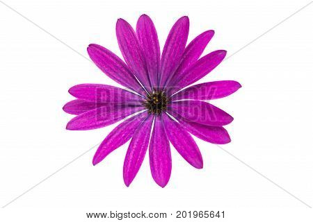 Osteospermum Daisy or Cape Daisy Flower Flower Isolated over White Background.