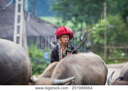 SA PA, VIETNAM - AUGUST 2017: Red dzao ethnic minority woman with buffaloes in Ta Phin village, Sa Pa, Lao Cai province, Vietnam