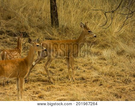 A young buck, doe, and fawn all together on the prairie.