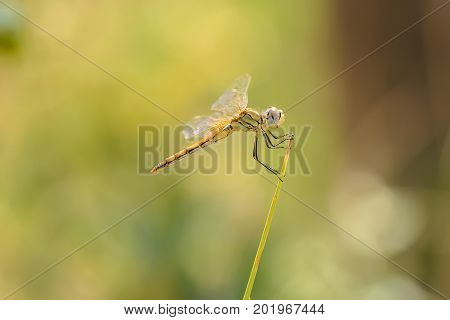 The red-veined darter or nomad Sympetrum fonscolombii is a dragonfly of the genus Sympetrum female.